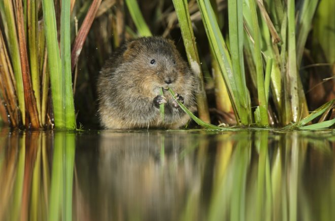 Image of a water vole on the river Meon